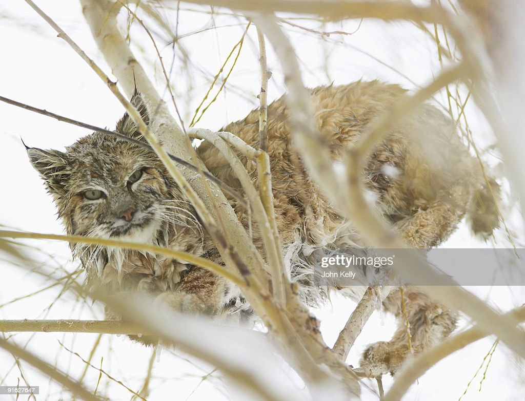 A bobcat in the snow : Stock Photo