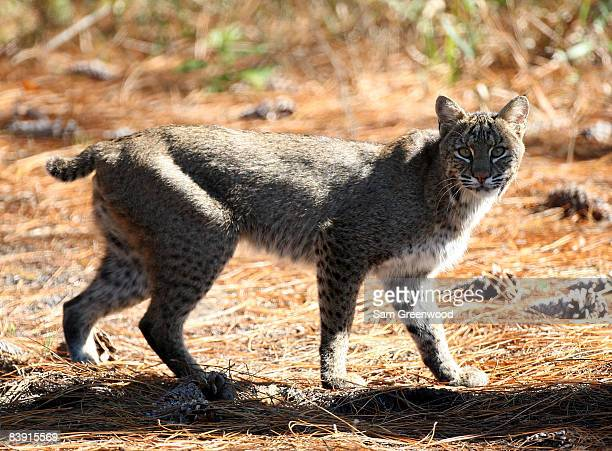 A bobcat is spotted near the fairway during the second round of the LPGA Qualifying School at LPGA International on December 4 2008 in Daytona Beach...