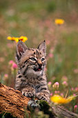 A young bobcat kitten plays in a wildflower covered meadow in Montana.