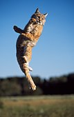 Bobcat Leaping In Mid-Air