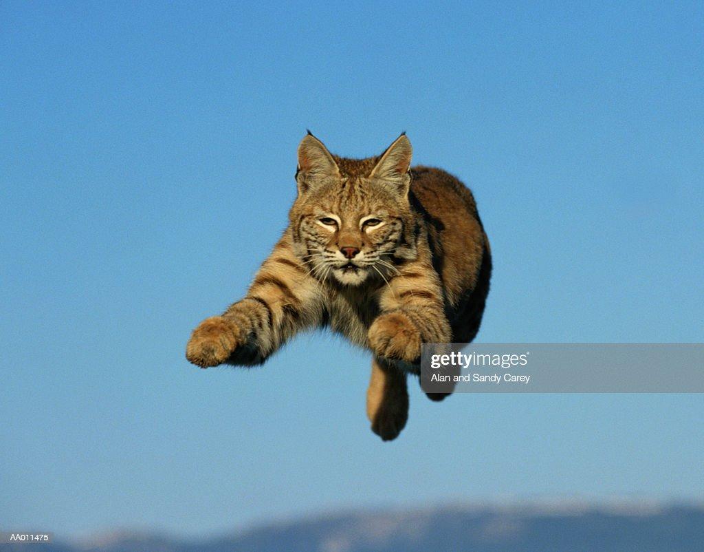 Bobcat (Lynx rufus) leaping