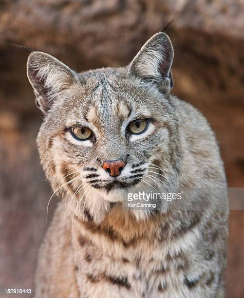 Bobcat looking fiercely at the camera