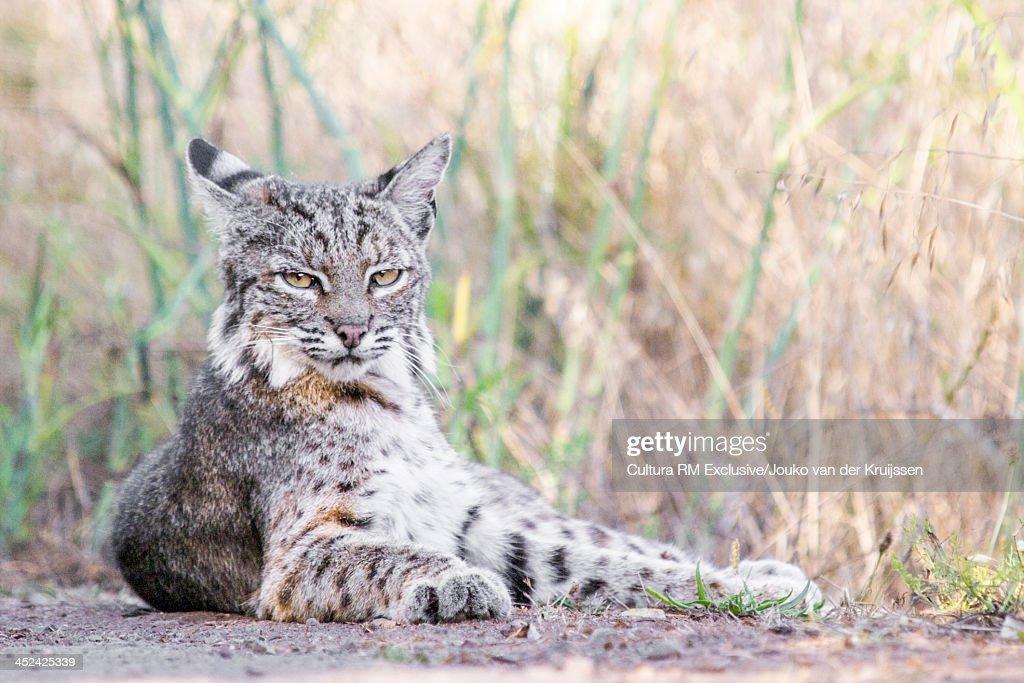 Bobcat lying down, Marin Headlands, California, USA
