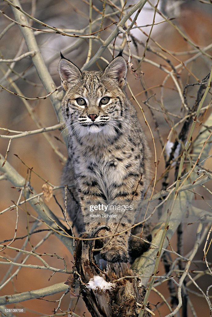 Bobcat, Lynx rufus, sitting in tree, Uinta National Forest, Utah, USA (SI) : Stock Photo