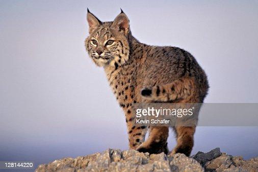 Bobcat, Lynx rufus, Uinta National Forest, Utah, USA