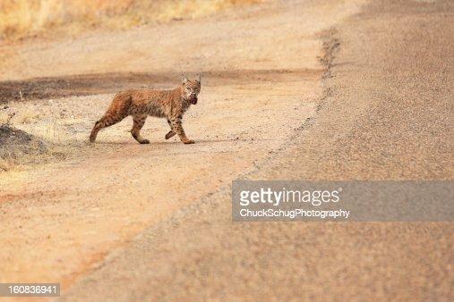 Bobcat Lynx rufus Wild Feline Predator