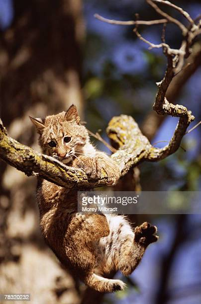 Cat Hanging From A Branch Stock Photos And Pictures