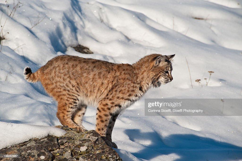 Bobcat on rock in winter : Stock Photo