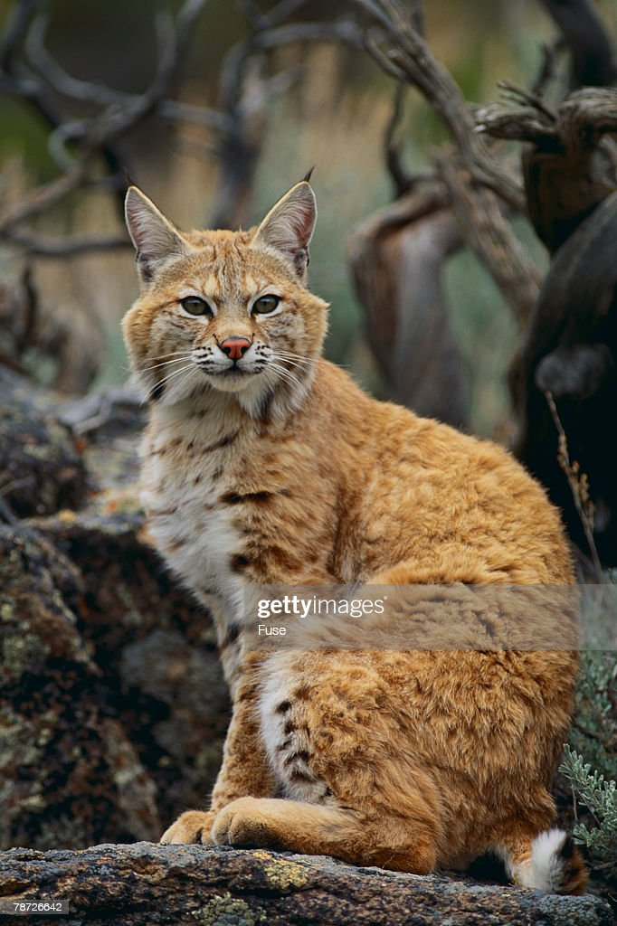 Bobcat on Rocks : Stock Photo