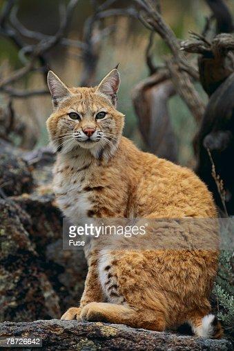 Bobcat on Rocks