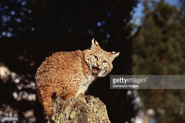 Bobcat perched and growling , Colorado