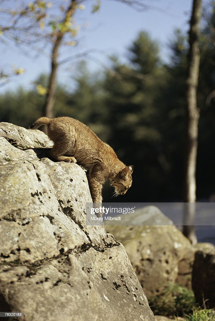 Bobcat perched on rock : Stock Photo