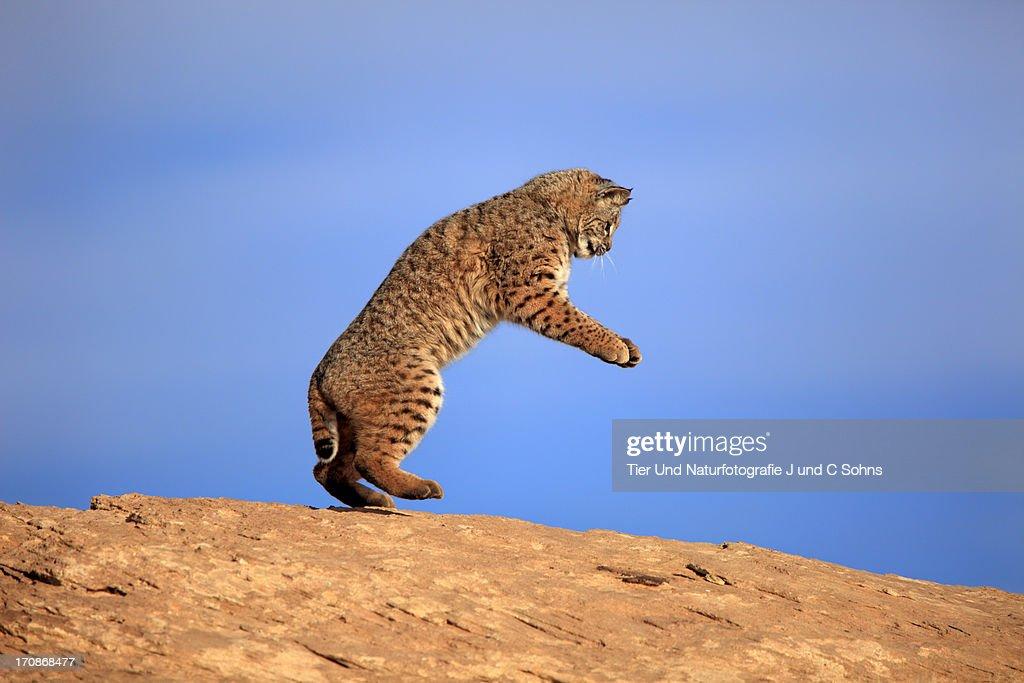Bobcat : Stock Photo
