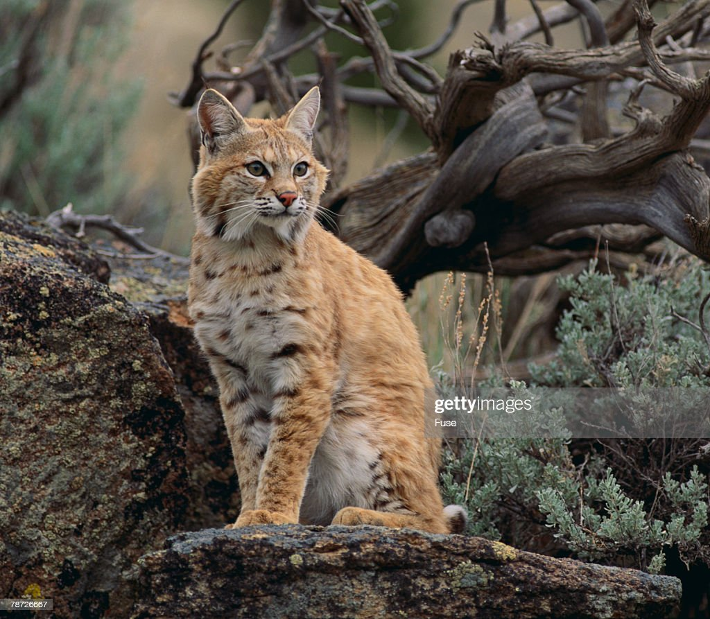 Bobcat : Stock Photo