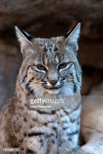 Bobcat (Felix rufus) portrait : Stock Photo