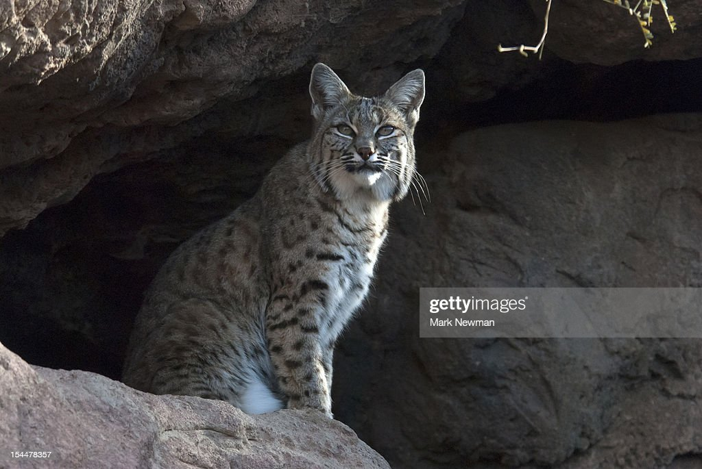Bobcat (Felix rufus) sitting on rock cliff : Stock Photo