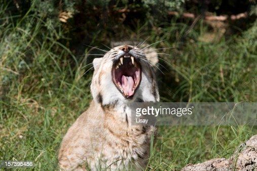 Bobcat snarl