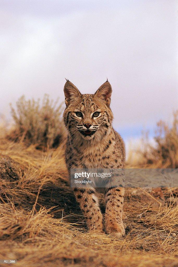 Bobcat standing : Stock Photo