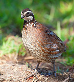 Male bobwhite quail that is walking on the ground