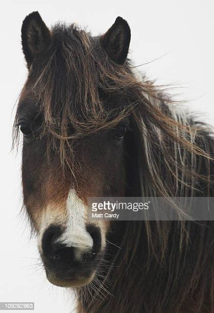 Bodmin pony watches as Faye Stacey a pony welfare officer for the charity South West Equine Protection checks on their condition on Bodmin Moor on...