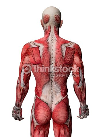 Body Muscles Anatomy Rear View Stock Photo Thinkstock