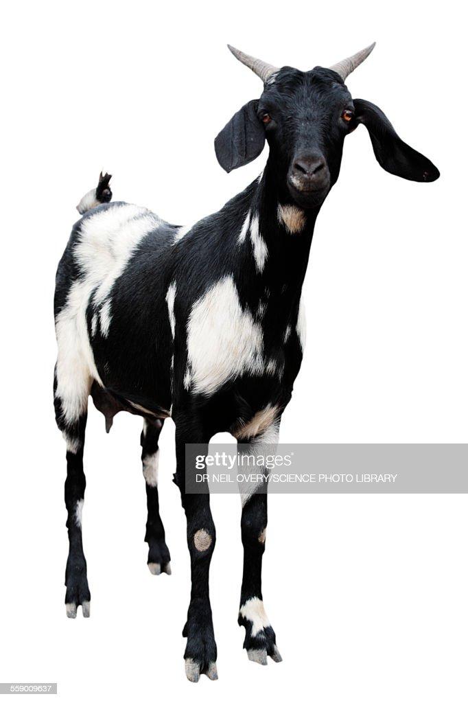 Boer goat