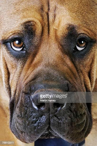 Boerboel (canis familiaris) , close up