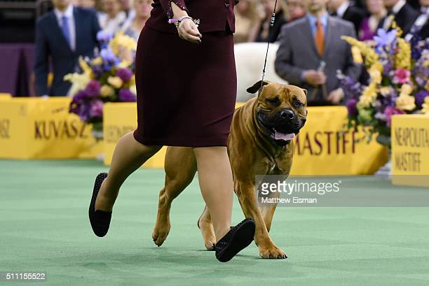 A Boerboel competes in the Working Group during the second day of competition at the 140th Annual Westminster Kennel Club Dog Show at Madison Square...