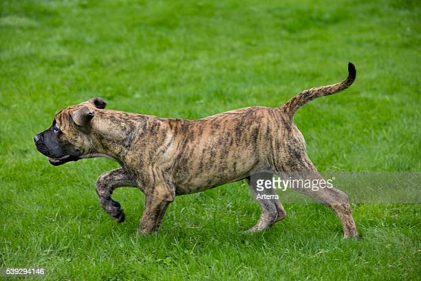 Boerboel pup in garden native breed from South Africa