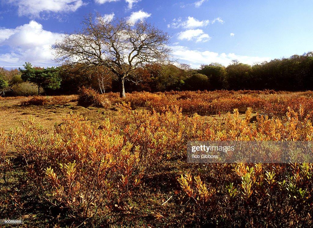 bog myrtle myrica gale in autumn, on wet heath, at millyford green,:new forest.