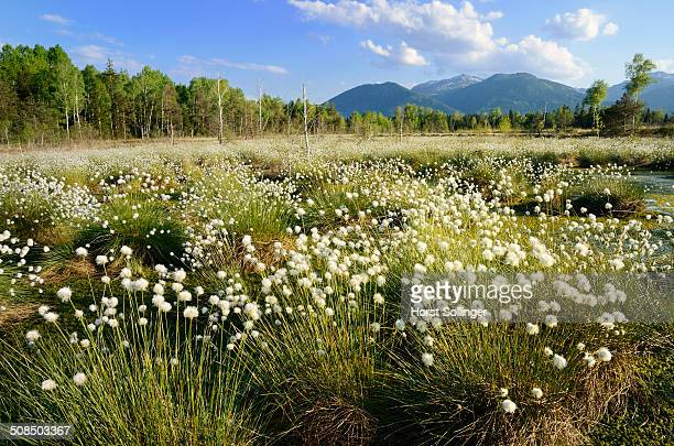 Bog pond in the foothills of the Alps with Hare's-tail Cottongrass, Tussock Cottongrass or Sheathed Cottonsedge -Eriophorum vaginatum L.-, near Rosenheim, Bavaria, Germany, Europe