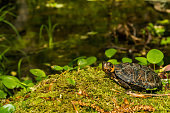 A close up of a Bog Turtle in New England