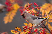 Bohemian waxwing, Bombycilla garrulus sitting in rowan tree with rowan berries around, yellow autumn colored leaves, Gällivare, Swedish Lapland, Sweden