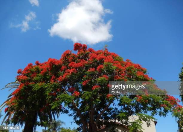 Bold Colours, Delonix regia red blossom against blue sky