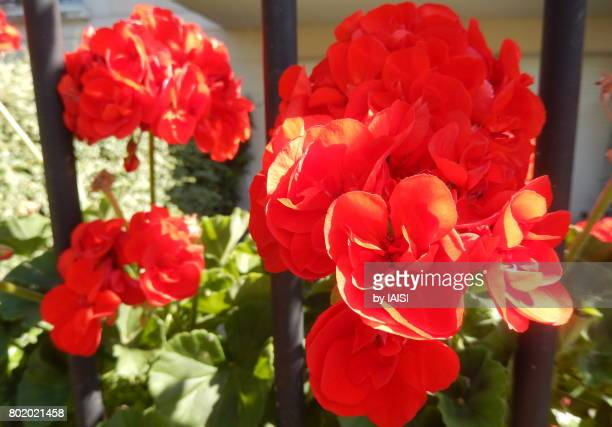 Bold Colours, the red flowers