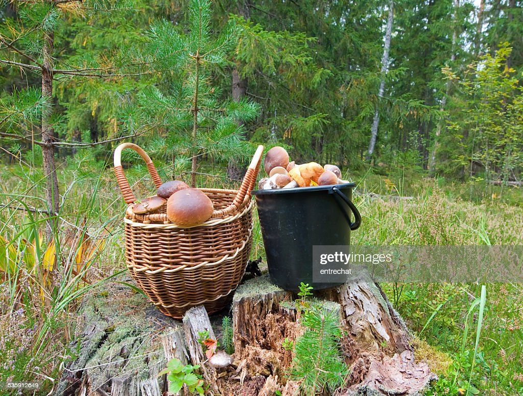 Boletus edulis in a piny forest. : Stock Photo