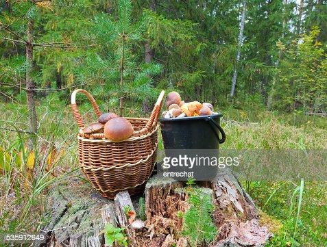 piny Boletus edulis en un bosque. : Foto de stock