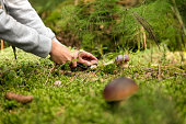 Boletus edulis in the forest, mushrooming and finding the gourmet mushrooms