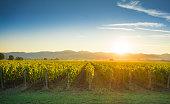 Bolgheri and Castagneto vineyards sunrise backlight in the morning. Maremma Tuscany, Italy, Europe.