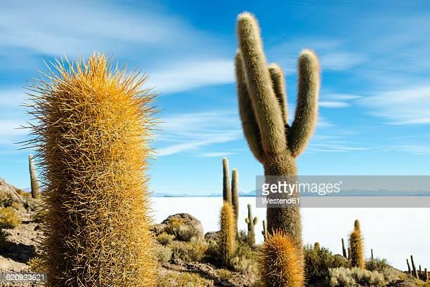 Bolivia, Atacama, Altiplano, Salar de Uyuni, Cacti on Incahuasi island