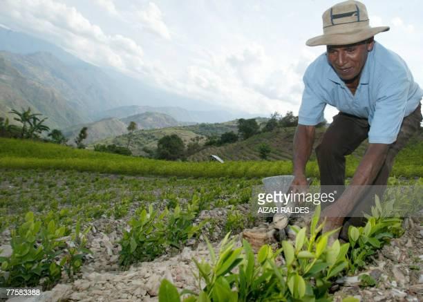 Bolivian peasant Bonifazio Dehezan weeds his coca plantation in the village of Villa Remedios 150km from La Paz 12 October 2007 In the eastern range...