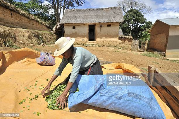 Bolivian peasant Doña Pola Cubo a coca grower picks her production after drying the leaves in the sun in Inca a community in the Apolo region near...