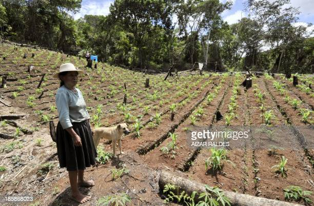 Bolivian peasant Doña Pola Cubo a coca grower shows her coca and corn plantation in Inca a community in the Apolo region near the Peruvian border 410...