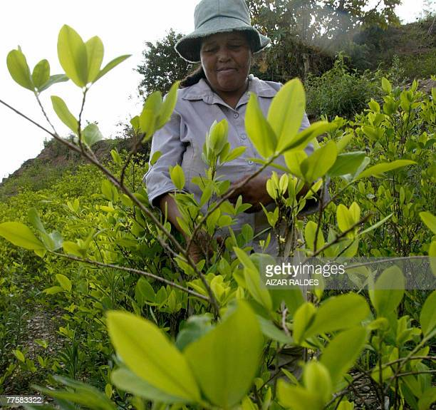 Bolivian peasant Lupe Gutierrez harvests coca in the village of Villa Remedios 150km from La Paz 12 October 2007 In the eastern range of the Yungas...
