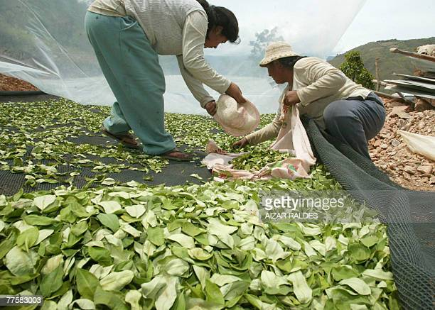 Bolivian peasants Cristina Gutierrez and her daughter Claudia pick up coca leaves they had put to dry in the village of Villa Remedios 150km from La...