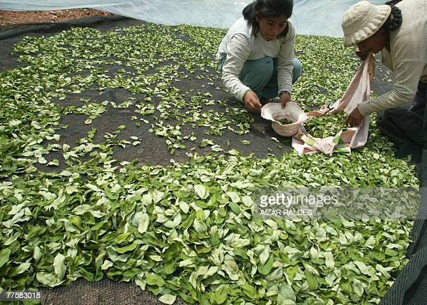Bolivian peasants Cristina Gutierrez and her daughter Claudia pick up coca leaves they had spread to dry in the village of Villa Remedios 150km from...