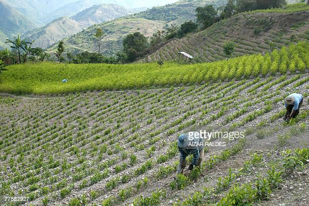 Bolivian peasants weed a coca plantation in the village of Villa Remedios 150km from La Paz 12 October 2007 In the eastern range of the Yungas region...