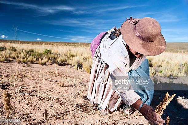 Frau aus Bolivien Sammeln von quinoa Oruro, Bolivien