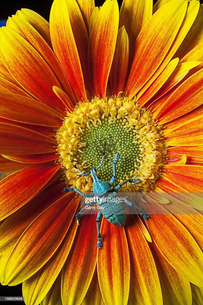 Boll weevil (Anthonomus grandis) on a mum : Stock Photo
