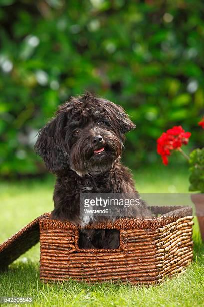 Bolonka Zwetna sitting in a basket on a meadow
